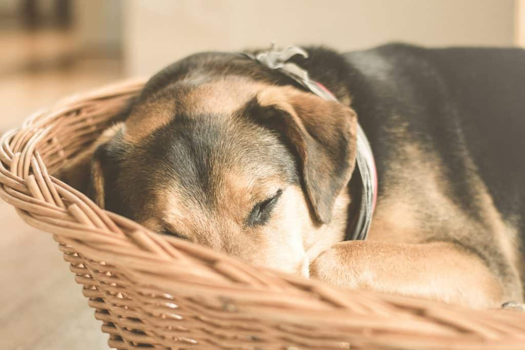 Brown dog with black patches of fur sleeping in a basket