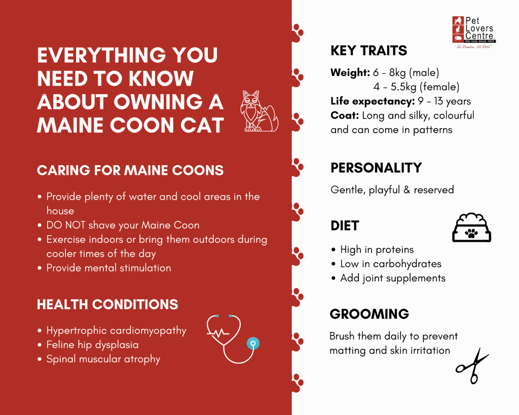 Infographic about owning a Maine Coon cat