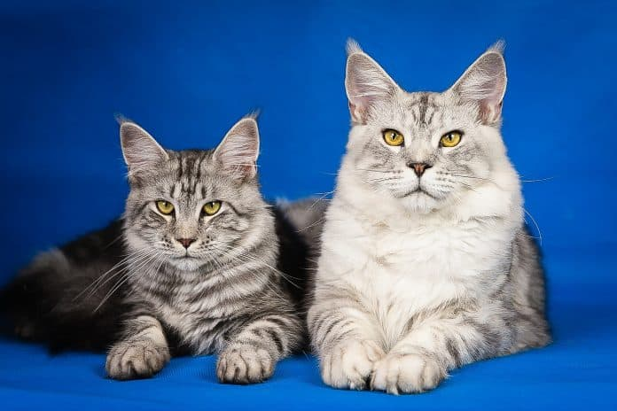 Black and white Maine Coon cats with blue background