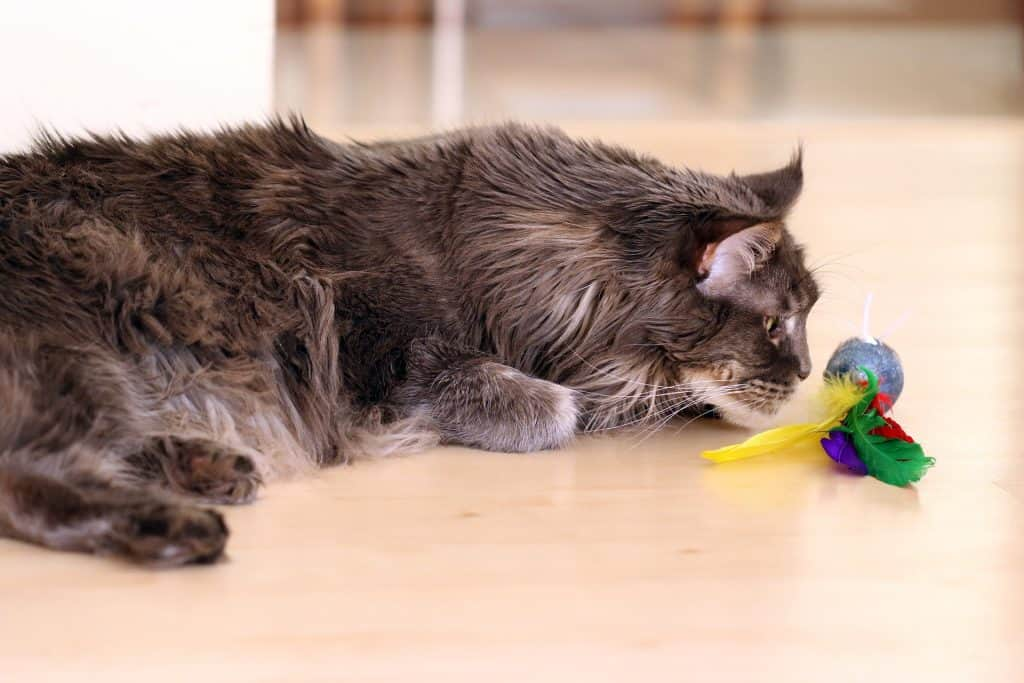 Maine Coon playing with a toy