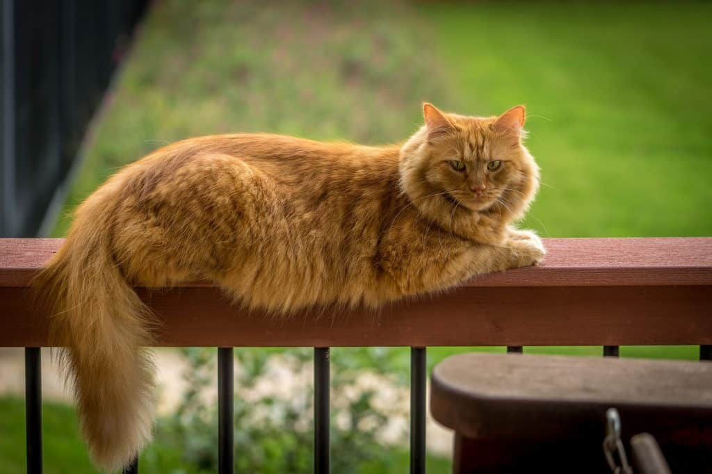 Golden Maine Coon sitting on a wooden porch ledge