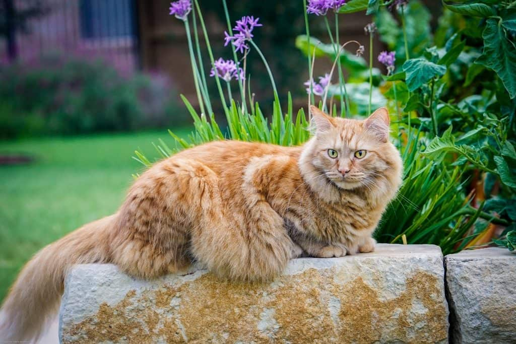 Golden Maine Coon sitting on a stone in a garden