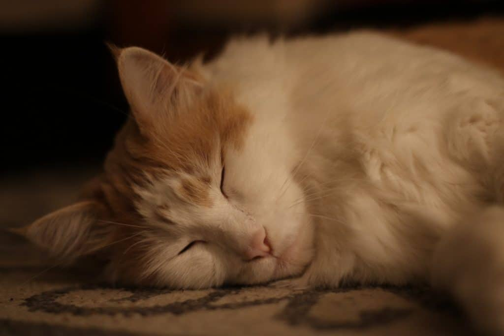Golden and white Maine Coon cat sleeping on the floor