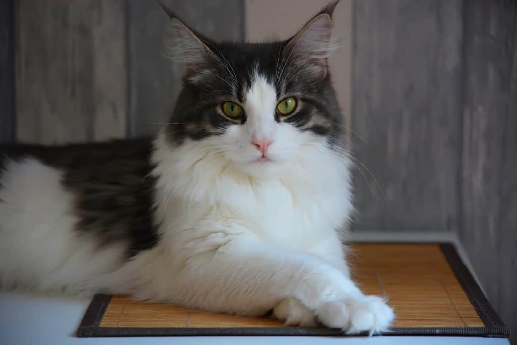 Black and white Maine Coon cat lying on the floor