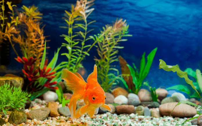 Fish tank with a gold fish