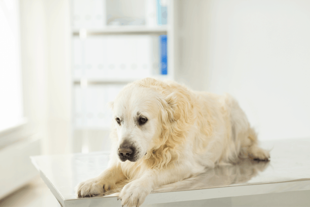 Dog lying down on a table