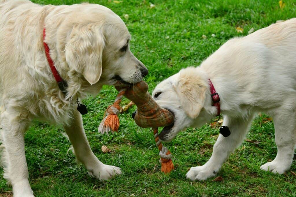 golden retriever dogs playing with a dog toy