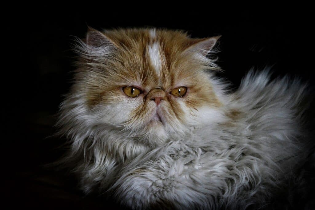 brachycephalic persian cat