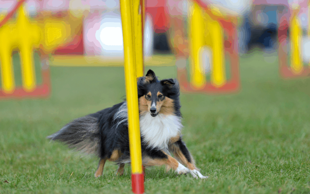 Shetland Sheepdog running in an obstacle course