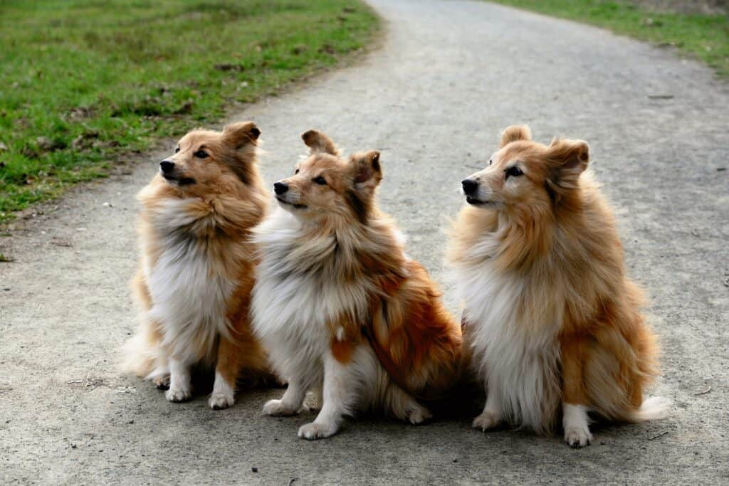 3 brown and white Shelties sitting on a pavement