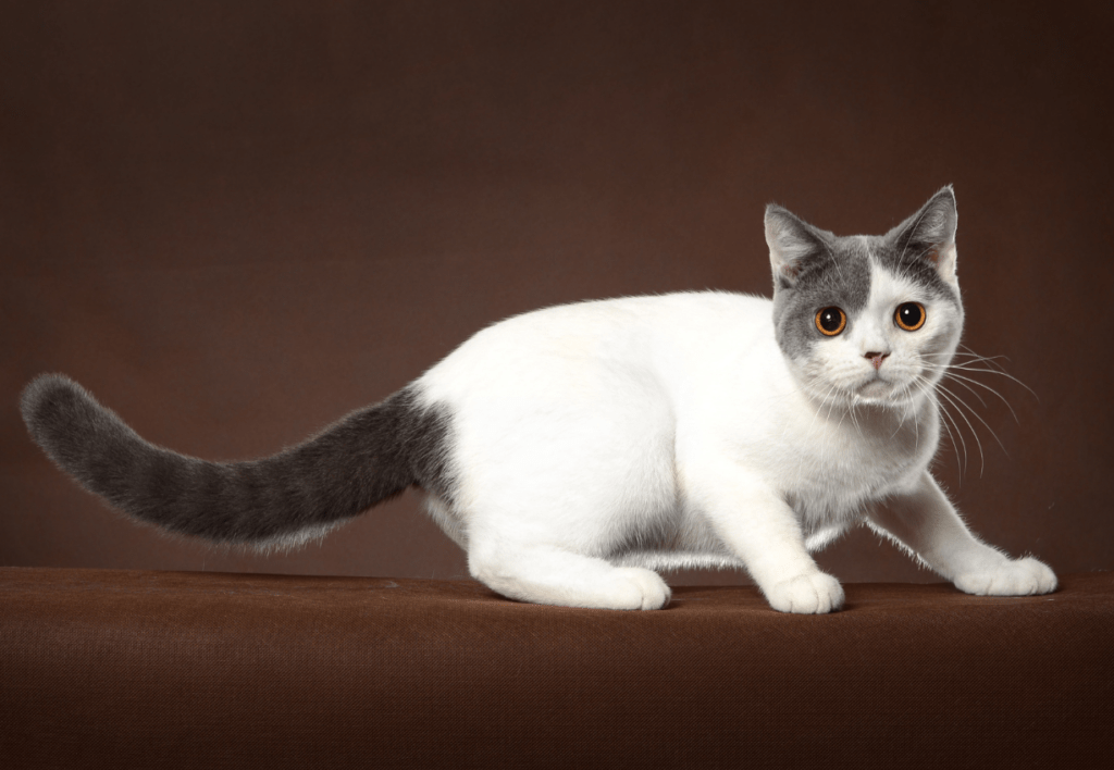 A white and black British Shorthair cat