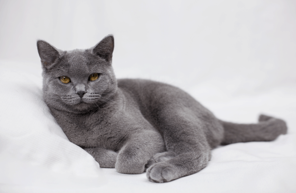 A British Shorthair cat resting on a bed