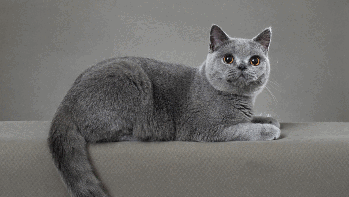 A British Shorthair resting on a couch