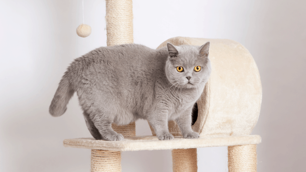 A British Shorthair on a cat tree