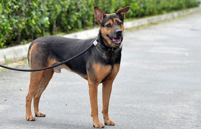 Caring For A Singapore Special Dog