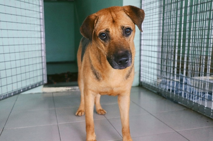 Simba from Action For Singapore dogs