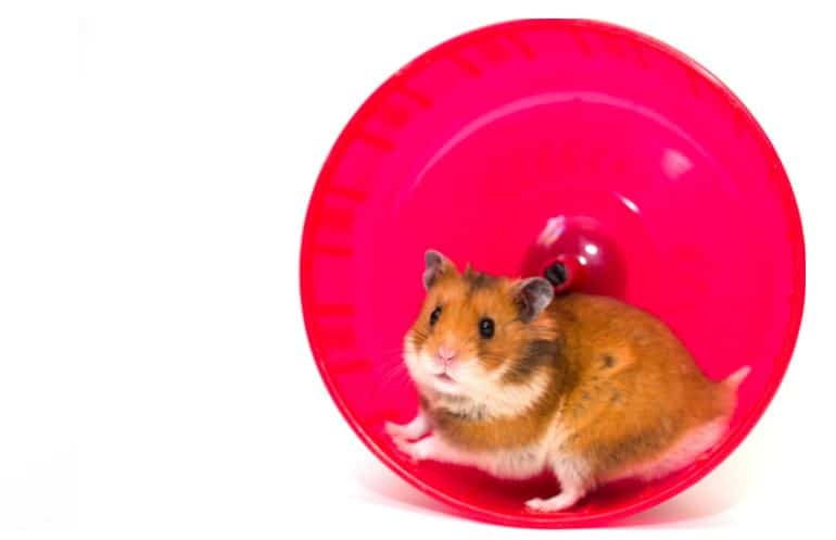 Syrian hamster in a red exercise wheel