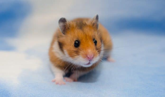Syrian Hamster with blue background