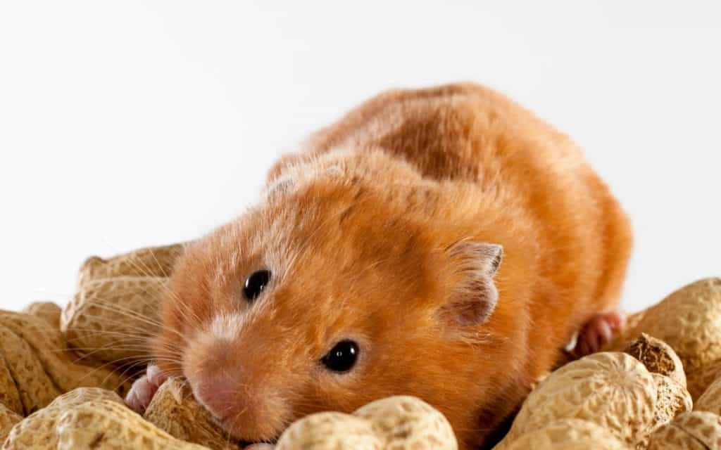 Syrian hamster lying in a pile of peanuts