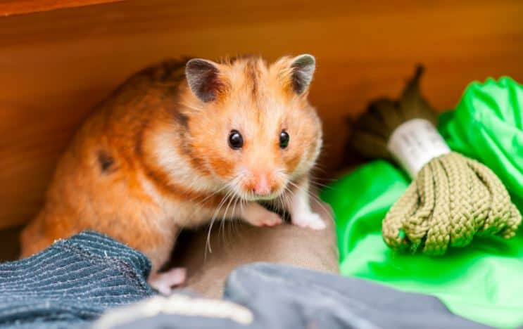 Syrian hamster hiding in a corner with green rope by his side