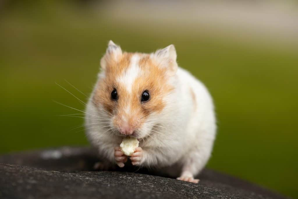 hamster chewing on a small piece of wood outdoors