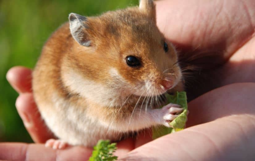 hamster nibbling on a small piece of leafy green in his owner's palm