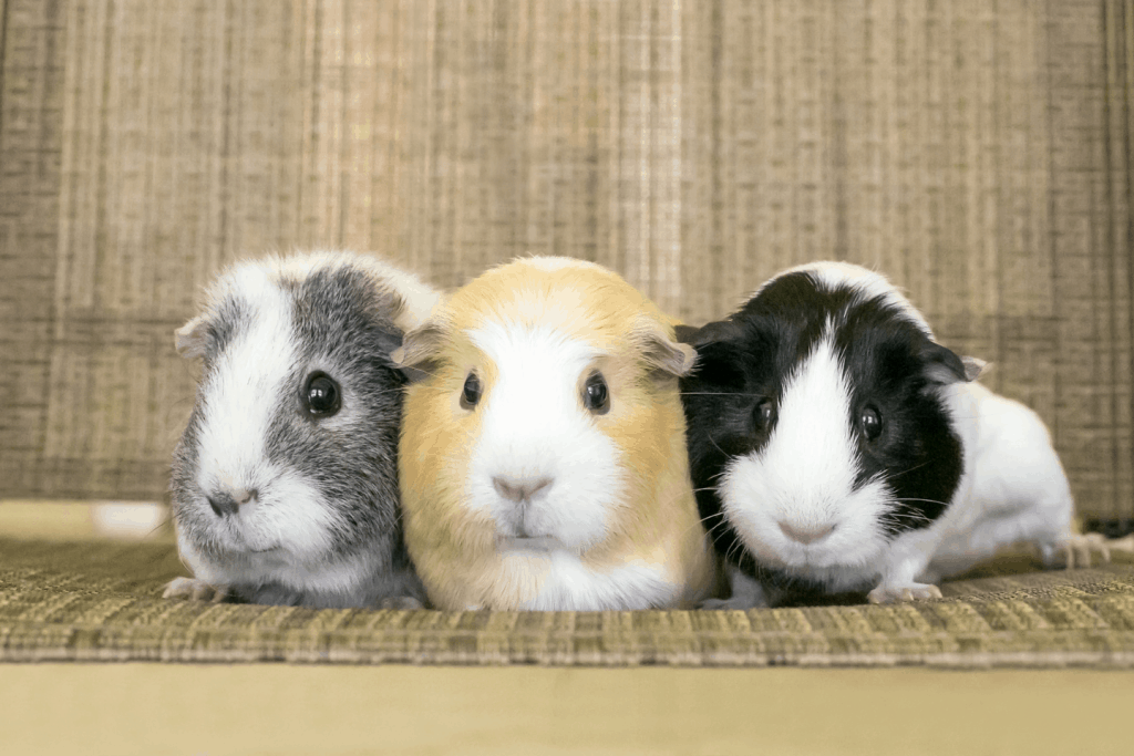 A group of American guinea pigs