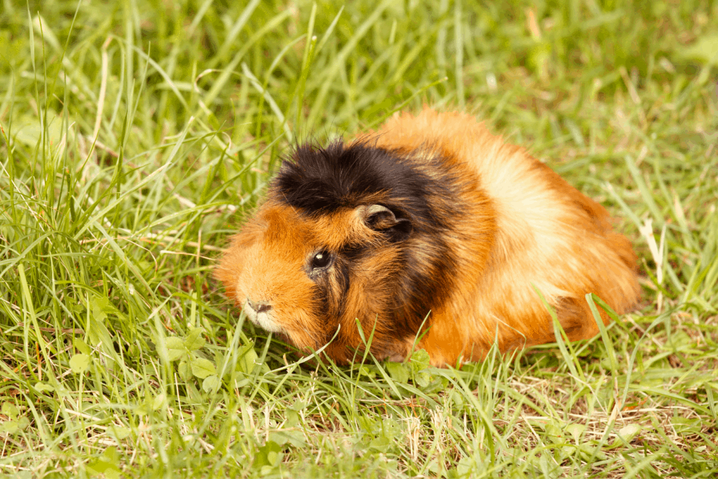 Abyssinian guinea pig playing in the grass