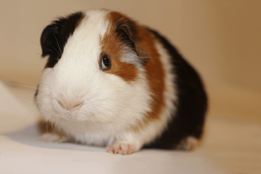 A black, white and brown American guinea pig