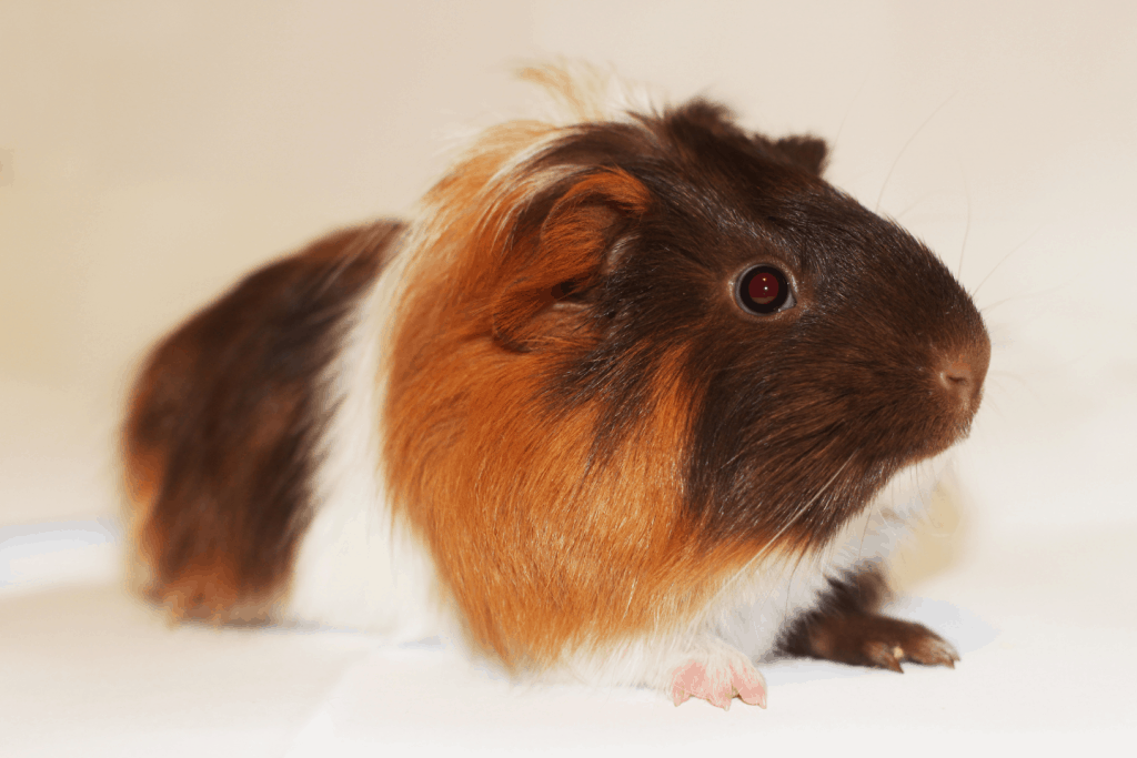 Brown and black Coronet guinea pig