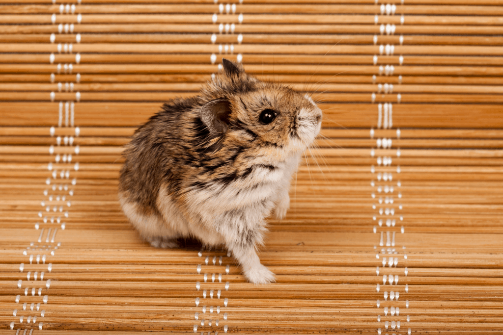 Campbell dwarf hamster sitting on a bench