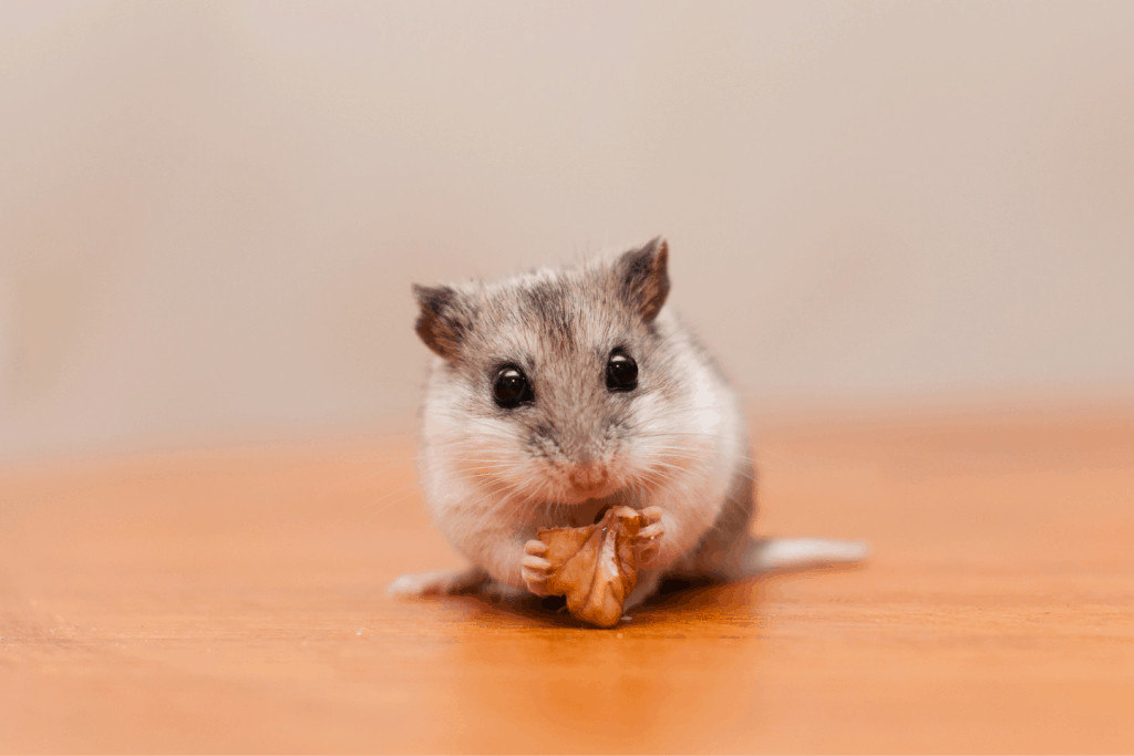 Chinese hamster eating
