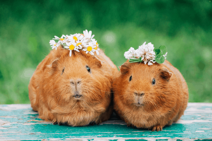 Guinea pigs with flower crowns