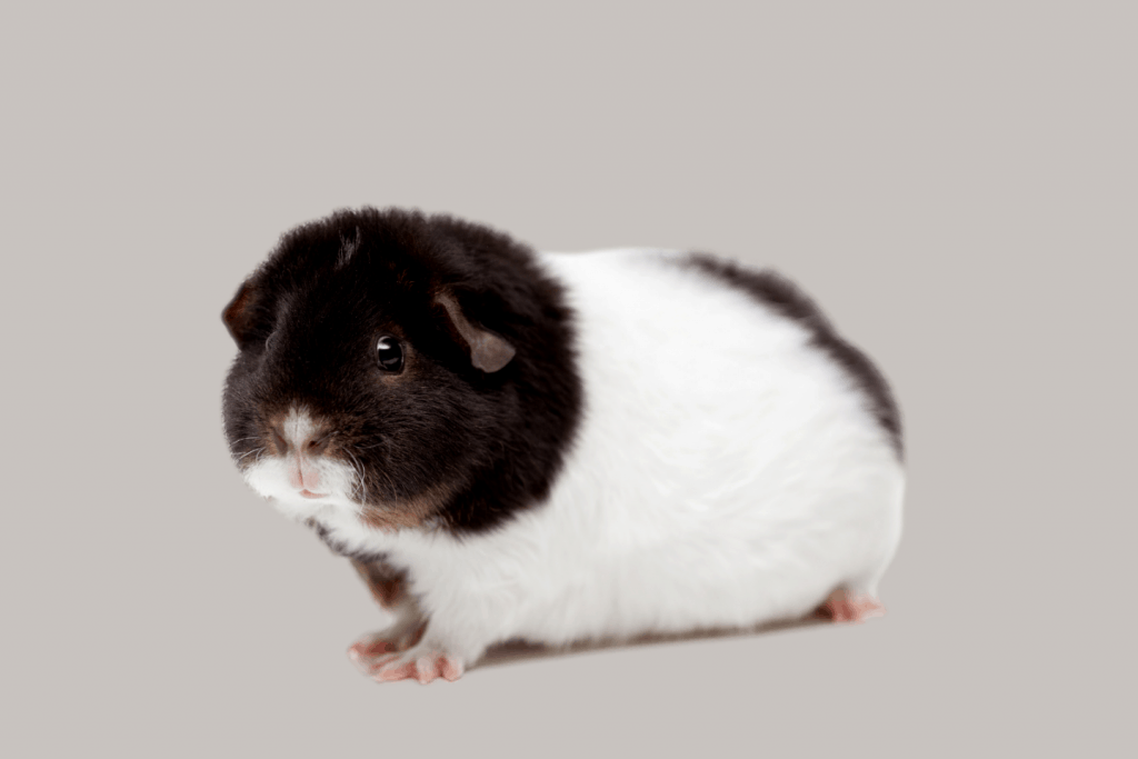 black and white Teddy guinea pig
