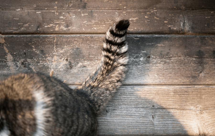 Cat's tail wagging