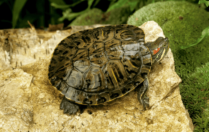 Terrapin resting on a rock