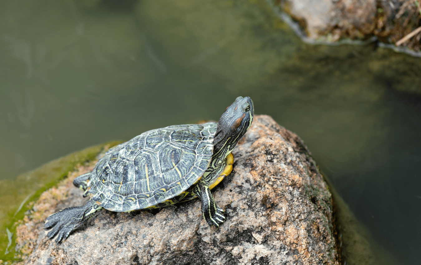 Red-eared slider terrapin resting on a rock