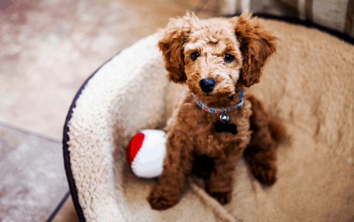 Brown toy poodle sitting comfortable in chair