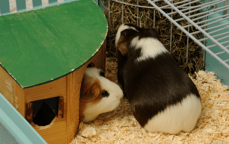 2 guinea pigs in a cage