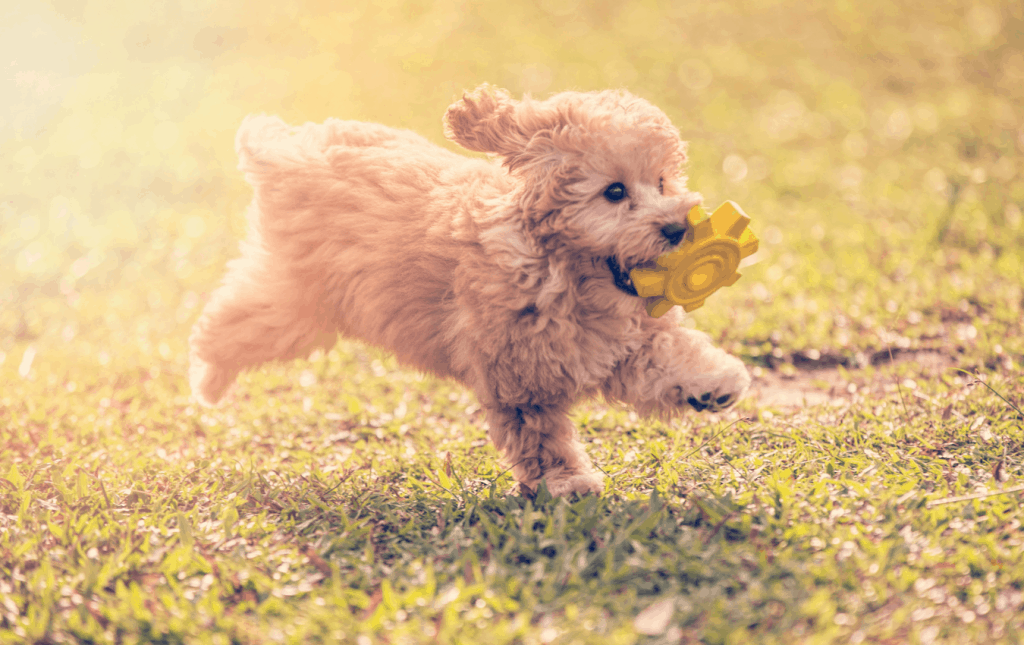 Toy poodle running with toy in mouth