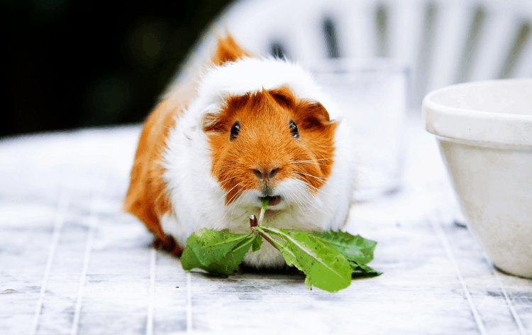 Guinea pig chewing on greens