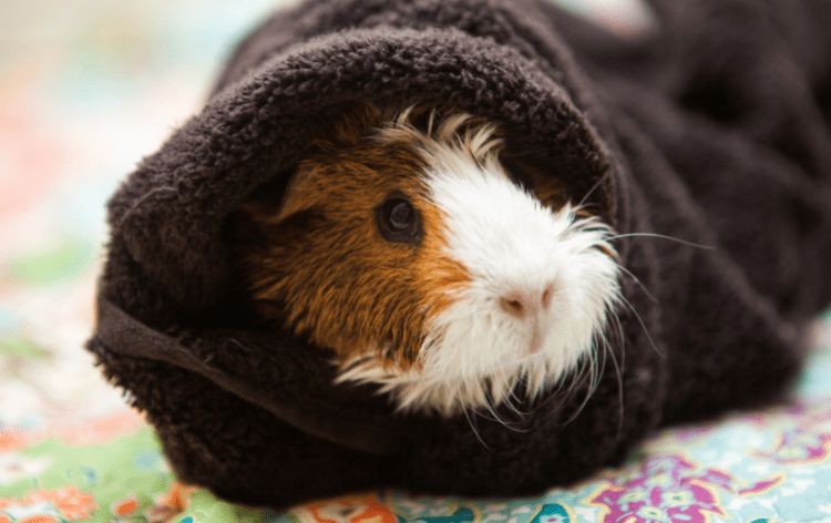 Guinea pig wrapped in a towel