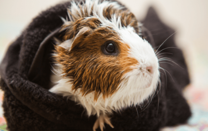 Wet guinea pig wrapped in a towel