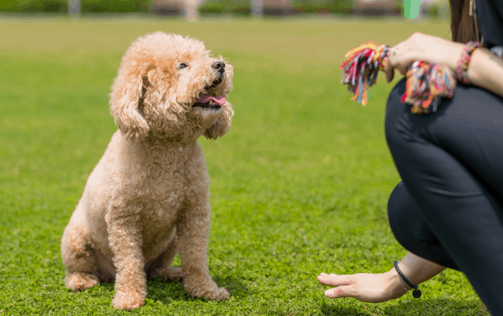 Pet owner training toy poodle on field