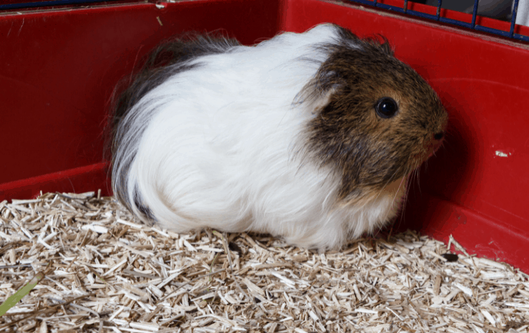 Brown and white guinea pig in a cage