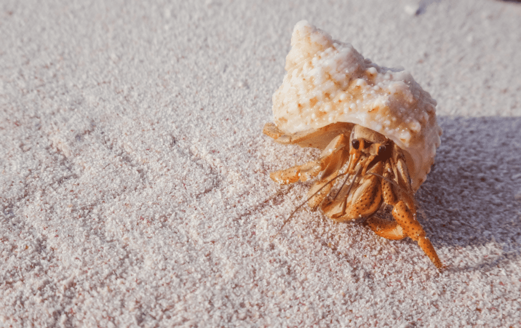 Hermit crab with conch seashell
