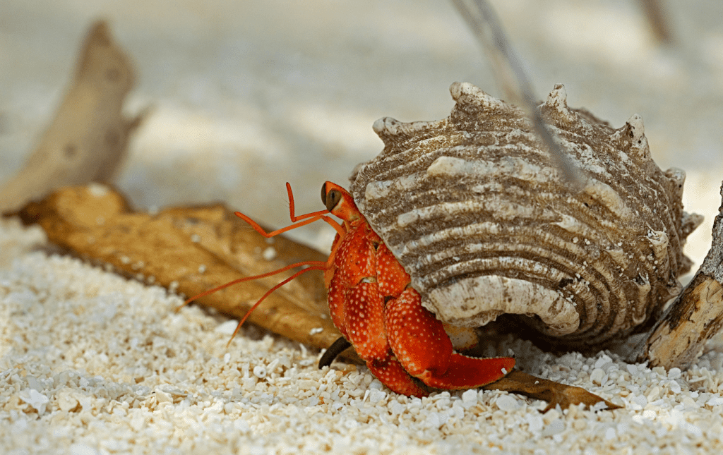 Hermit crab with striped shell