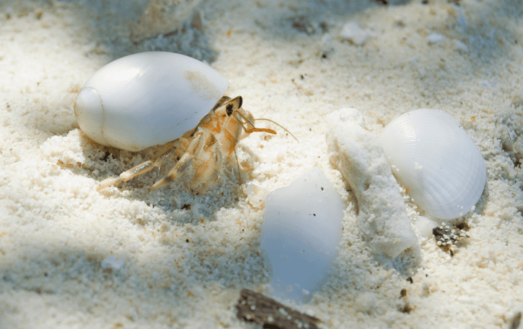 Hermit crab with white shell and 2 extra seashells